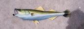 Sailfish original painting by Gary Boswell